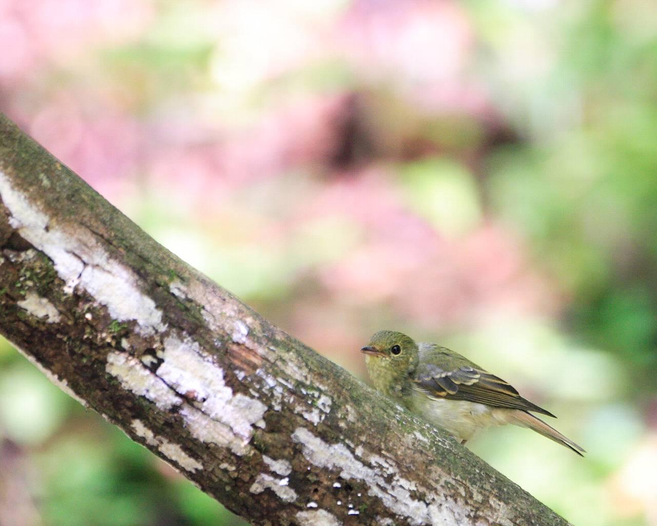 初秋のキビタキ幼鳥_f0105570_214217.jpg
