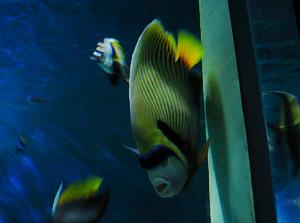 サングラスをかけたような魚。チンピラ風
