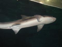 下から見上げた、お腹の見える小ぶりの鮫
