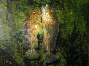 大小二匹のカサゴが抱き合うような格好でたち泳ぎ