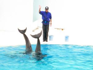 二匹のイルカが逆立ち状態、下半身を水面から突き出し、尾っぽを振っている姿