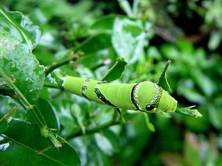 「モンキアゲハ」幼虫!我が家の庭で発見!!!_d0019074_7465814.jpg