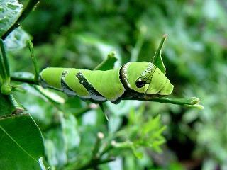 「モンキアゲハ」幼虫!我が家の庭で発見!!!_d0019074_7471945.jpg