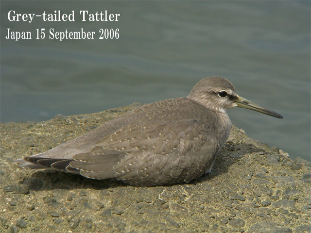 キアシシギ 6 Grey-tailed Tattler 6_c0071489_23393017.jpg