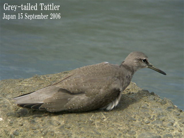 キアシシギ 6 Grey-tailed Tattler 6_c0071489_23393699.jpg