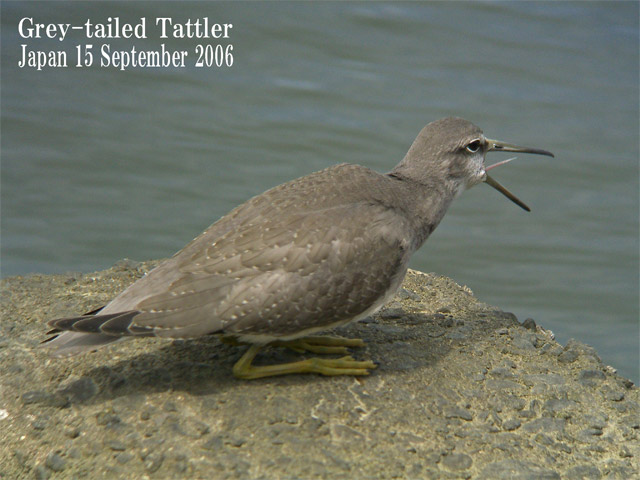 キアシシギ 6 Grey-tailed Tattler 6_c0071489_23394259.jpg