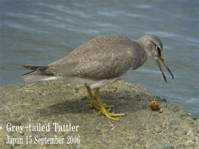 キアシシギ 6 Grey-tailed Tattler 6_c0071489_23394988.jpg