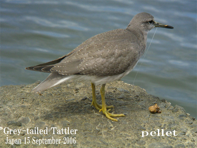キアシシギ 6 Grey-tailed Tattler 6_c0071489_23395592.jpg