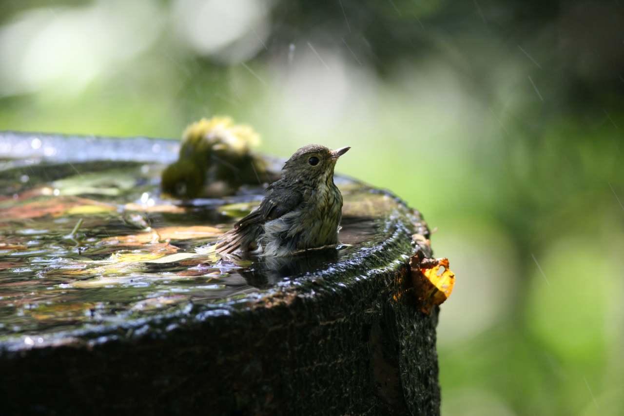 低山のキビタキ幼鳥とメジロ_a0052080_21125045.jpg
