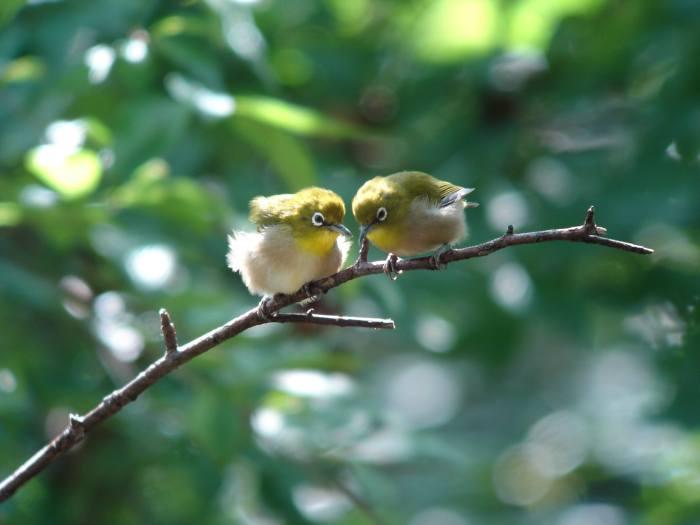 低山のキビタキ幼鳥とメジロ_a0052080_21132230.jpg