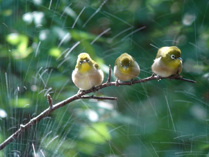 低山のキビタキ幼鳥とメジロ_a0052080_21284267.jpg