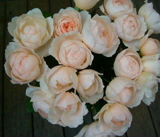 オークリーフ(美しすぎるバラ・アンブリッジローズ)_f0049672_11401484.jpg