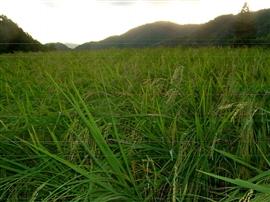 稲の刈り取り時期_e0002820_1147397.jpg