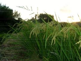 稲の刈り取り時期_e0002820_11501333.jpg
