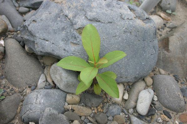 Populus maximowiczii, Toisusu urbaniana, Salix hultenii var. angustifolia_e0014773_21152016.jpg