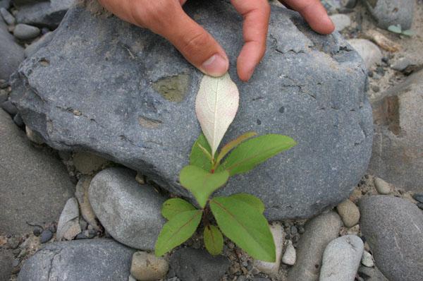 Populus maximowiczii, Toisusu urbaniana, Salix hultenii var. angustifolia_e0014773_21163831.jpg