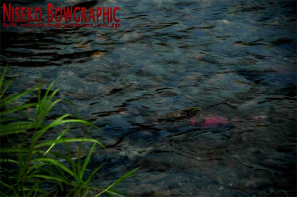 鮭に学ぶ人生_b0086920_158354.jpg