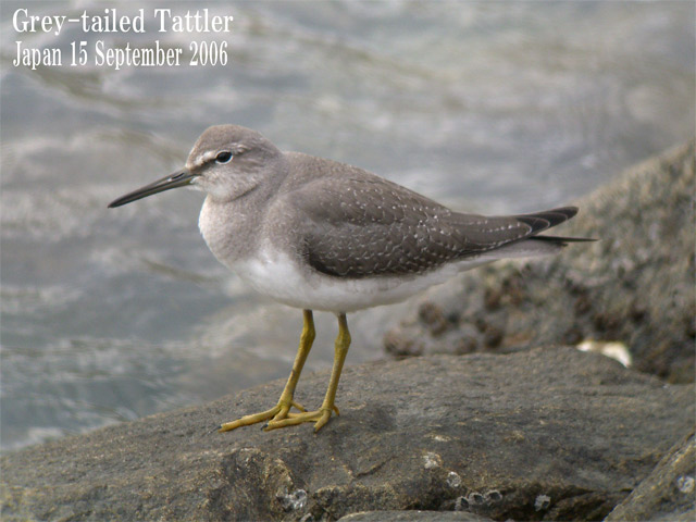 キアシシギ 6 Grey-tailed Tattler 6_c0071489_10494353.jpg
