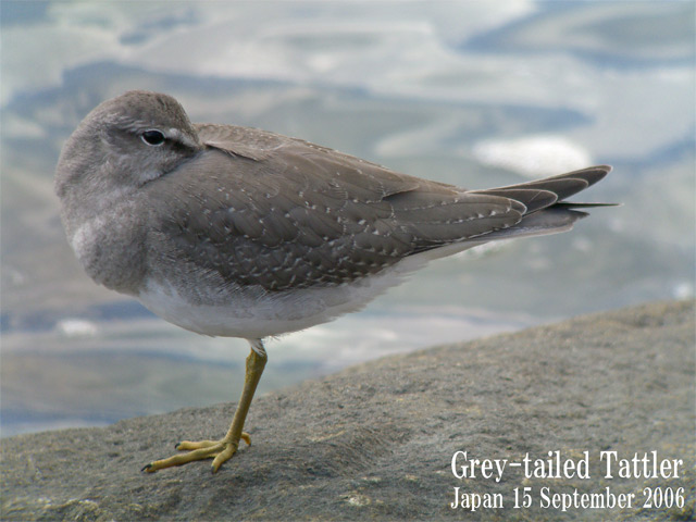 キアシシギ 6 Grey-tailed Tattler 6_c0071489_10495732.jpg