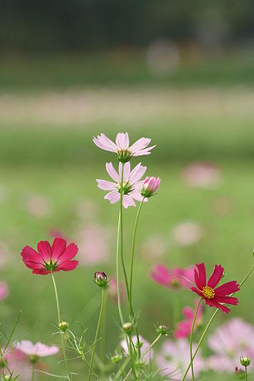 巾着田の彼岸花とコスモス_d0026817_2131571.jpg