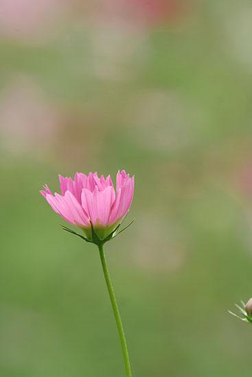 巾着田の彼岸花とコスモス_d0026817_21325010.jpg