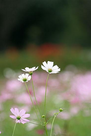 巾着田の彼岸花とコスモス_d0026817_21333655.jpg