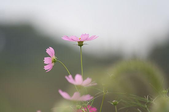 巾着田の彼岸花とコスモス_d0026817_21335139.jpg