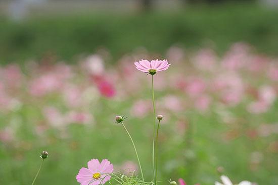 巾着田の彼岸花とコスモス_d0026817_2135539.jpg
