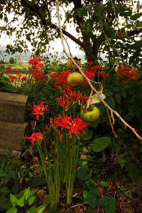 彼岸花の季節になりました。_e0015690_16501814.jpg