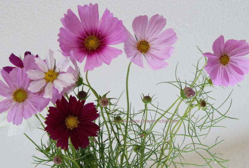 花を買うこと2 コスモス _a0042928_0535886.jpg