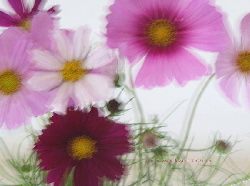 花を買うこと2 コスモス _a0042928_05426100.jpg
