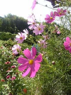 コスモス(秋桜)の花♪_f0099147_142779.jpg