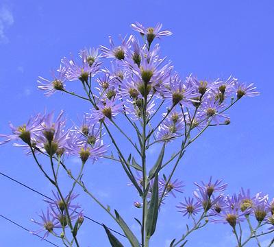 9月30日 紫苑_a0001354_21412272.jpg