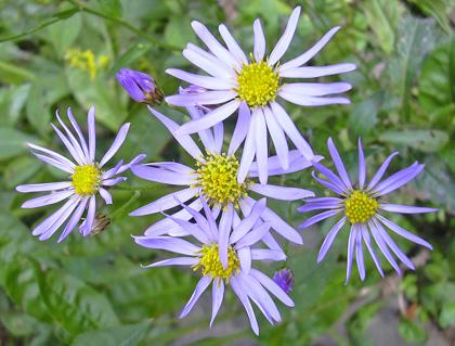 9月30日 紫苑_a0001354_21413731.jpg