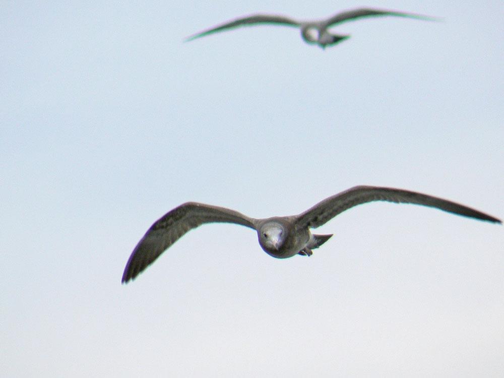 2羽のウミネコの幼鳥_e0088233_2331175.jpg