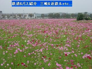 VOL,346 北勢線と彼岸花&コスモス畑(10/4)_e0040714_12343442.jpg