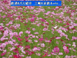 VOL,346 北勢線と彼岸花&コスモス畑(10/4)_e0040714_12344782.jpg
