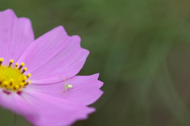 秋桜_f0018464_18151220.jpg