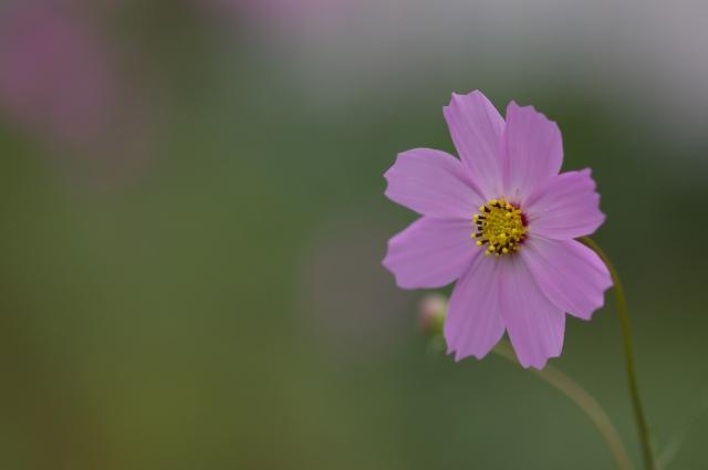 秋桜_f0018464_1826420.jpg