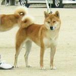 2006年秋季日本犬保存会北九州支部展_b0057675_10101569.jpg