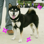 2006年秋季日本犬保存会北九州支部展_b0057675_10122755.jpg