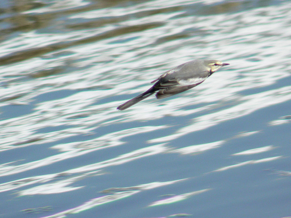 水面上をスイーっと飛んでいるハクセキレイ _e0088233_2381982.jpg