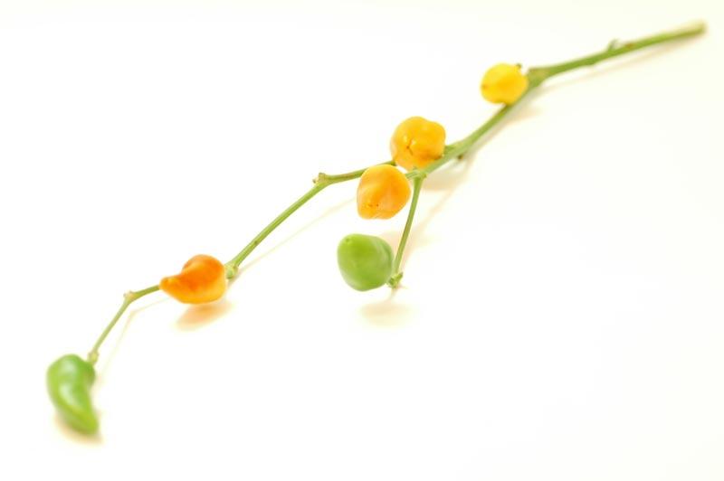 トウガラシ 黄色