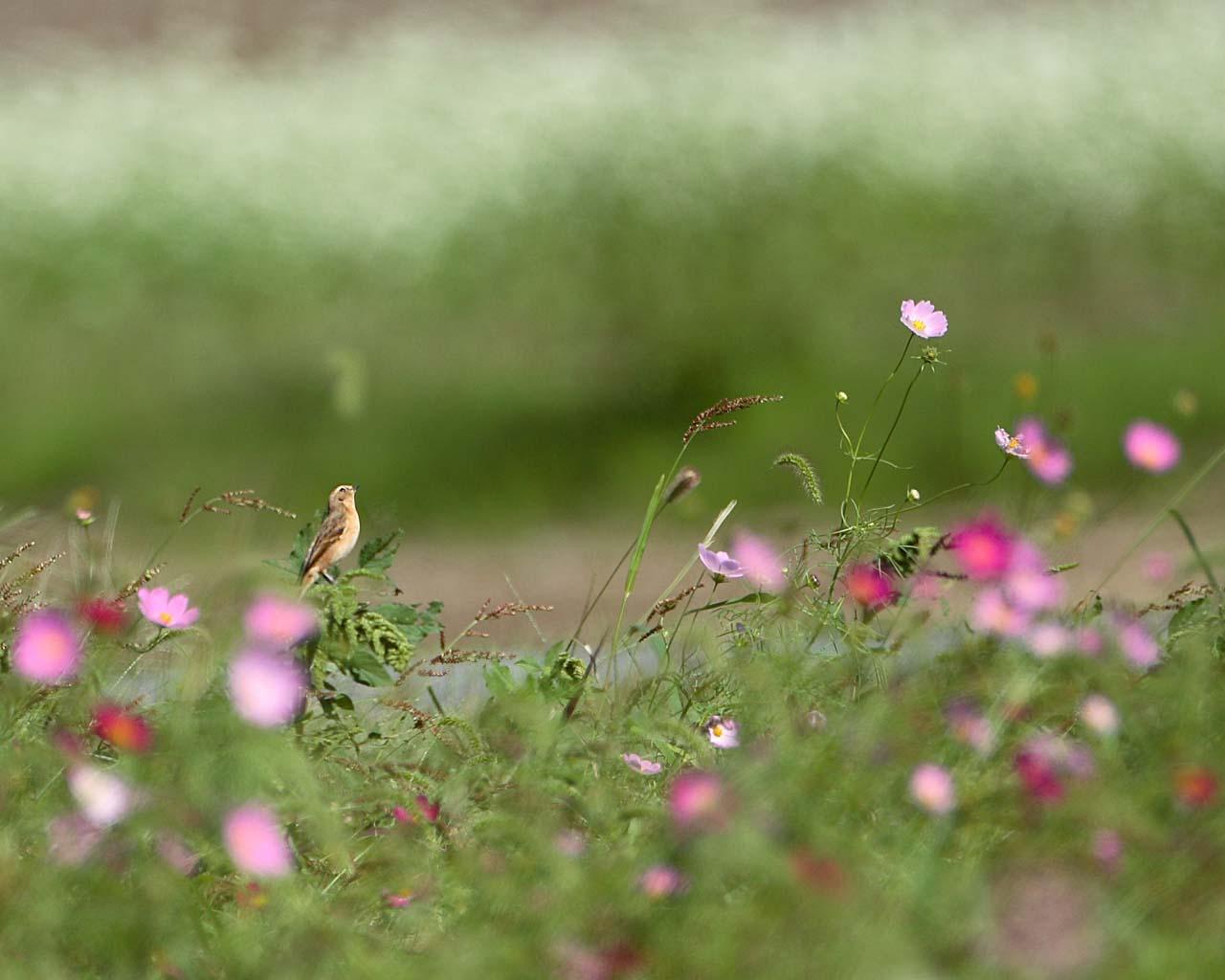 コスモスと蕎麦の花とノビタキ(野鳥と秋の花の綺麗な壁紙)_f0105570_1623174.jpg