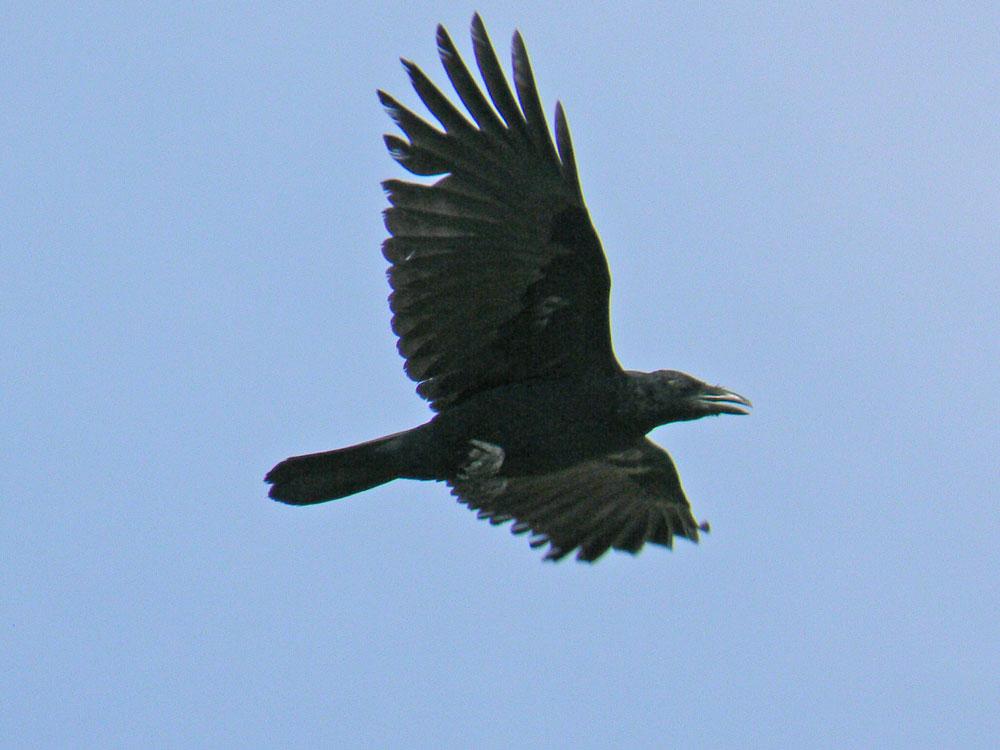 カラスさん、飛んでますが真っ黒です_e0088233_2236524.jpg