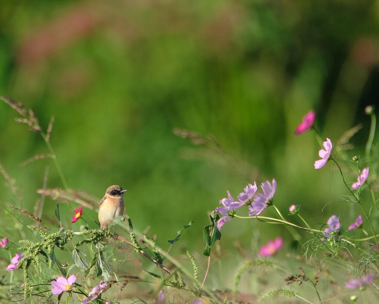 ノビタキとコスモスと彼岸花(野鳥と秋の草花の美しい壁紙)_f0105570_16242130.jpg