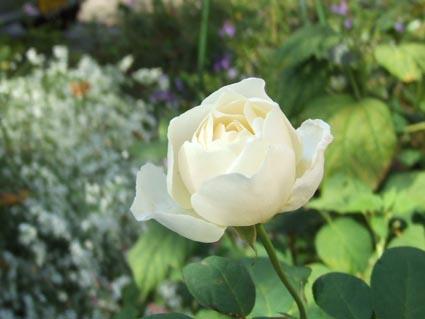 白薔薇_f0019498_1855664.jpg