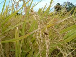 収穫の秋、黄金色の稲を刈る。_f0018099_37253.jpg