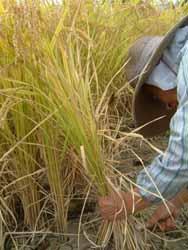 収穫の秋、黄金色の稲を刈る。_f0018099_374290.jpg