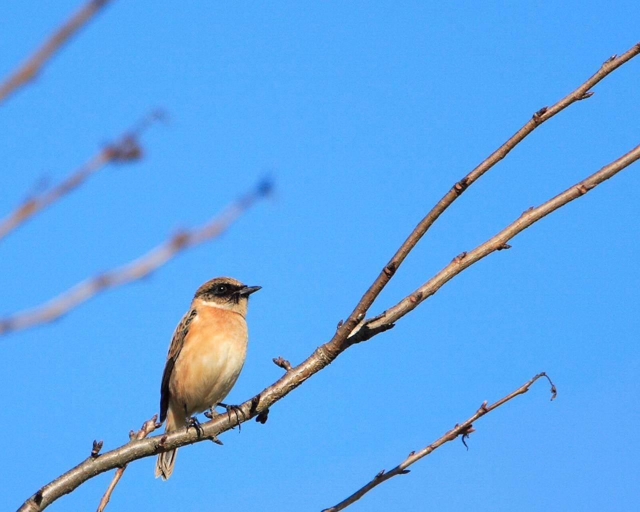 秋空とノビタキ(秋の澄み切った青空と野鳥の壁紙)_f0105570_223587.jpg